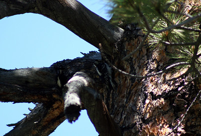 7/7/07 Hairy Woodpecker (Picoides villosus). Leavitt Trail (to Secret Lake & West Walker Trails), just across foot bridge from Leavitt Campground. Off Hwy 108 (Sonora Pass), Mono County, Toiyabe National Forest, CA
