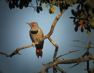 10/24/08 Northern Red-Shafted Flicker (Colaptes auratus). Kyle Court Property, La Cresta, Murrieta, SW Riverside County, CA