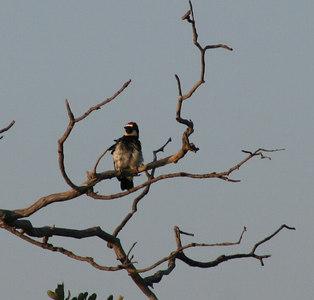 7/18/06 Acorn Woodpecker (Melanerpes formicivorus). Kyle Court property, La Cresta, Murrieta, Riverside County, CA