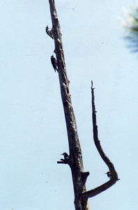 7/14/02 Acorn Woodpeckers (Melanerpes formicivorus). Charlton Flat, San Gabriel Mountains, Angeles National Forest, Los Angeles County, CA