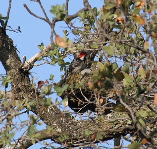 5/18/07 Nuttall's Woodpecker (Picoides nuttallii). Kyle Court, La Cresta, Murrieta. SW Riverside County, CA