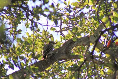 7/24/11 Nuttall's Woodpecker (Picoides nuttallii). Vista Grande Trail, Santa Rosa Plateau Ecological Reserve, SW Riverside County, CA