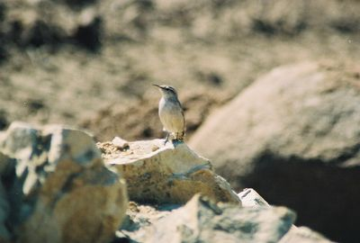 October 2004? Rock Wren (Salpinctes obsoletus). Kyle Court property, La Cresta, Murrieta, Riverside County, CA