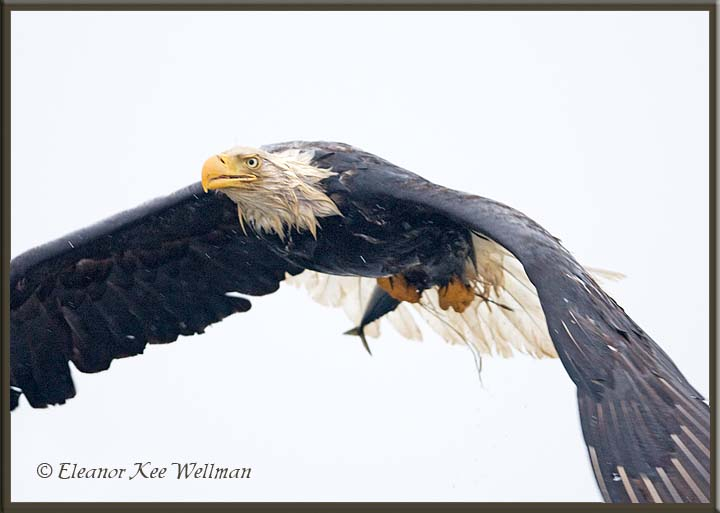 Bald Eagle with fish in the rain.