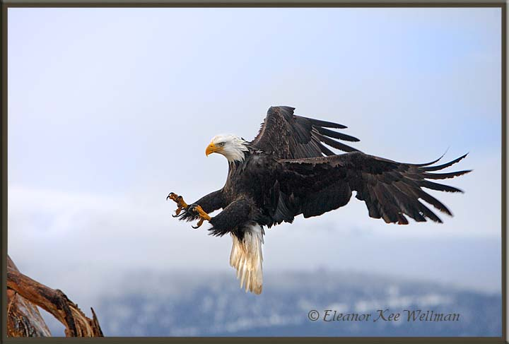 Bald Eagle Landing #2