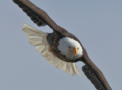 Bald Eagle searching for breakfast