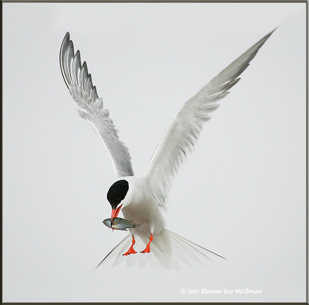 Single adult Common Tern bringing fish.  This bird was unmated and kept bringing in fish which it tried to give to an adult bird and then to chicks.  The adults rejected the offer and then drove this bird off when it attempted to feed chicks belonging to other pairs.<br /> <br /> This bird would fly around carrying a small perch and as the fish dried out somewhat, it would fly to the edge of the rock and dip it into the water.  Eventually the bird would eat the fish itself and fly off to get another one.