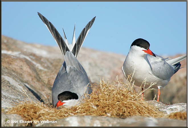 "Pair of Common Terns on Sparrow Lake, Ontario.'<br /> <br /> Link to article about our recovery project on Naturescapes.<br /> <br /> <br /> <a href=""http://www.naturescapes.net/docs/index.php/conservation-and-ethics/140-conservation-photography-a-one-year-follow-up"">http://www.naturescapes.net/docs/index.php/conservation-and-ethics/140-conservation-photography-a-one-year-follow-up</a>"