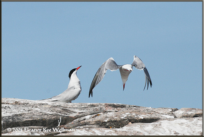 Adult Common Tern arriving at nest site and other member of the breeding pair beginning its greeting display.