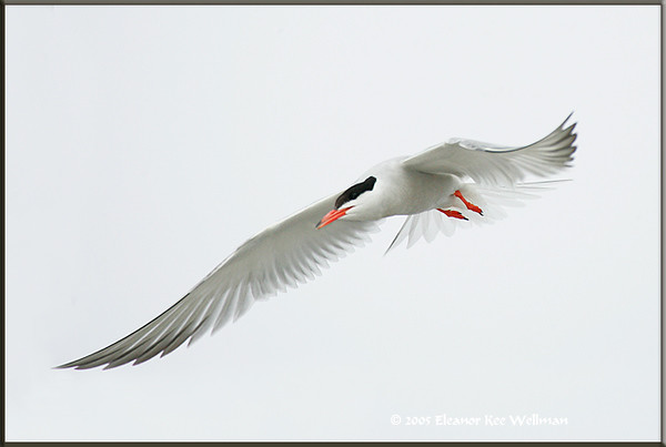 Adult Common Tern swooping in to land in colony.