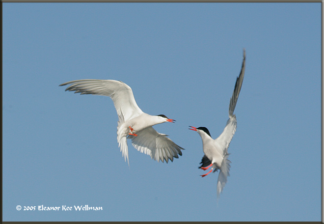 Two adult Common Terns in territorial skirmish above the colony. Often during a visit in my kayak adult birds erupted into these flights.