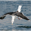 Black-backed Gull.