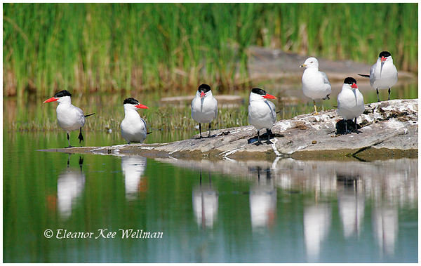 Caspian Terns and Ring-billed Gull.  Adults, breeding plumage. Matchedash Bay, On.