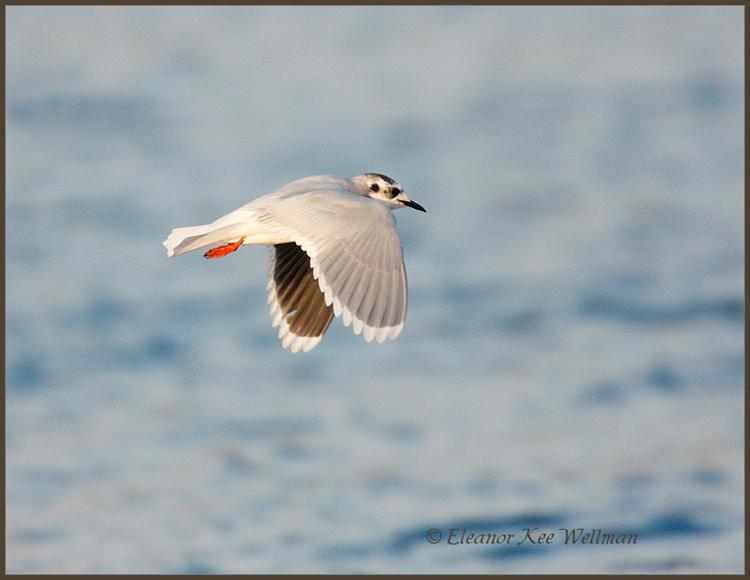 Little Gull, adult, non-breeding plumage.