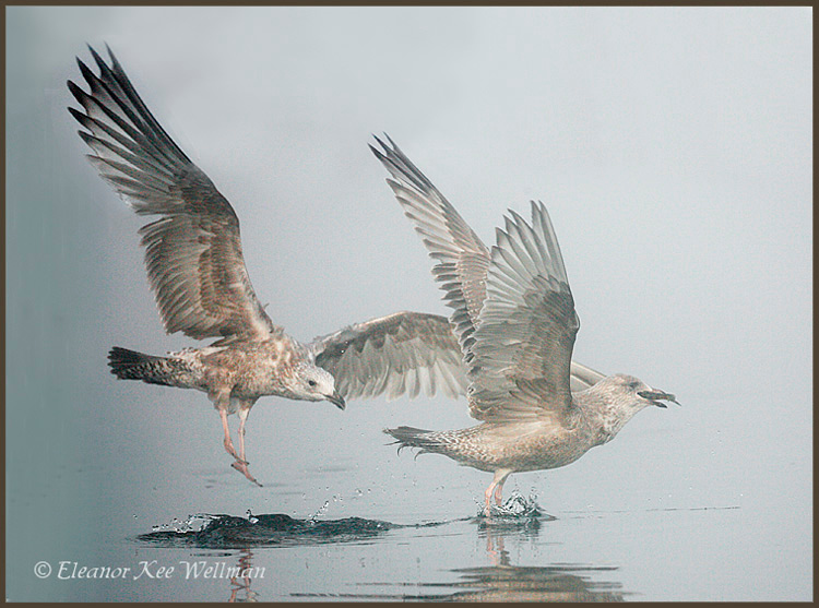 Herring Gulls, first winter plumage.