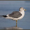 Mew Gull, Winter Adult