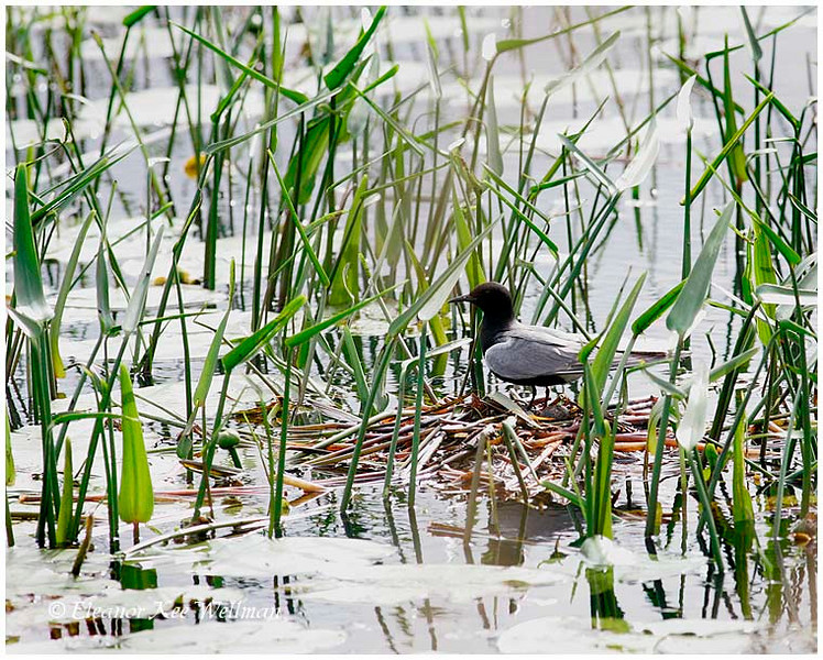 Black Tern, Adult, on nest with egg.  Tiny Marsh, ON.