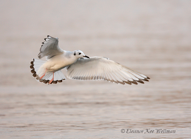 Bonaparte's Gull, first winter plumage.