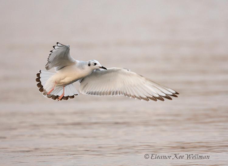 Bonaparte's Gull, first winter plumage.