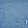 Black-headed Gulls, Adults, Non-breeding plumage, Nova Scotia, Winter.