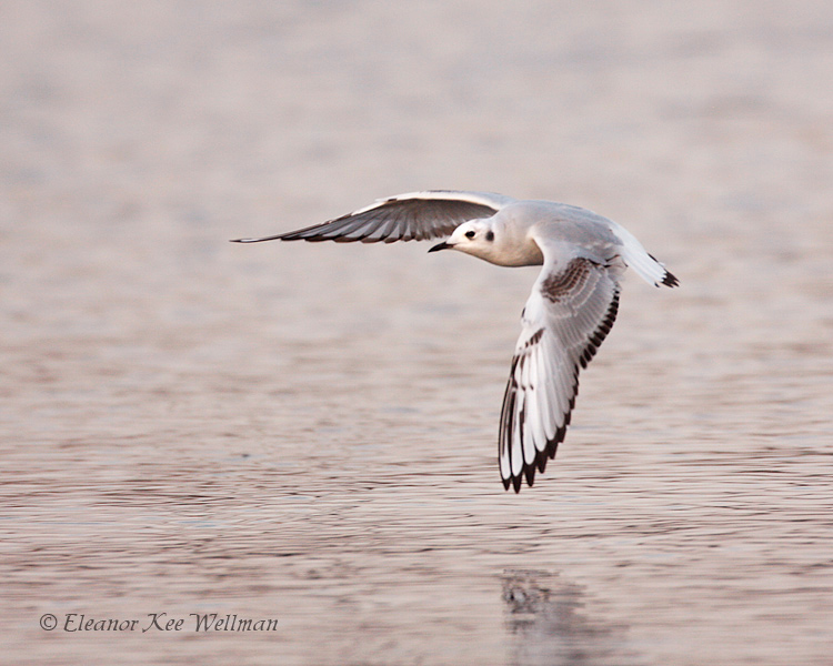 Boneparte's Gull, first winter plumage.