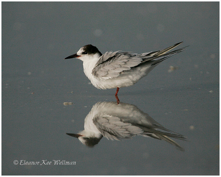Forster's Tern, adult, non-breeding plumage.