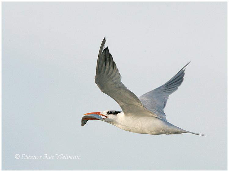 Royal Tern, adult, breeding plumage.