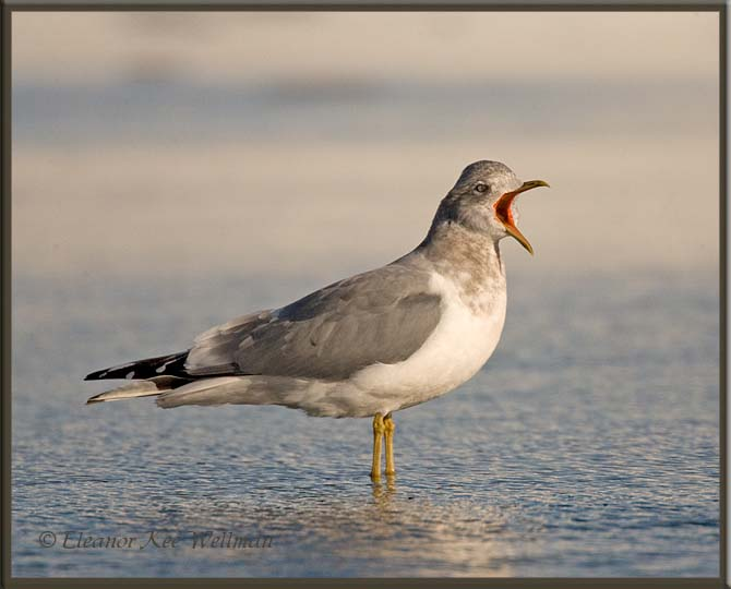 Mew Gull Adult, Winter, Yawning