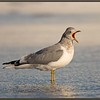 Mew Gull Adult, Winter, Yawning