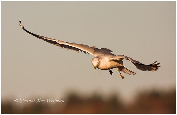 Ring-billed Gull, adult, non-breeding plumage, sunset.