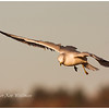 Ring-billed Gull, adult, non-breeding plumage, sunset.