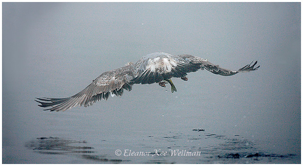 Herring Gull, first winter plumage, taking off with perch.