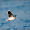 Little Gull, adult, non-breeding plumage.