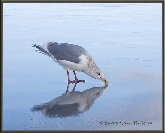 Glaucous-winged Gull Drinking, Reflected