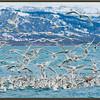 Glaucous-winged and Mew Gulls, Alaska.