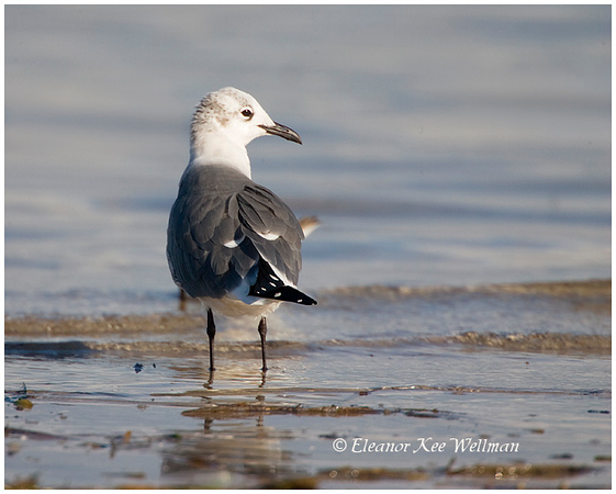 Laughing Gull, adult non-breeding plumage, Florida, December.