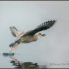 Herring Gull, taking off with perch.