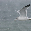 Ring-billed Gull, Adult, winter.