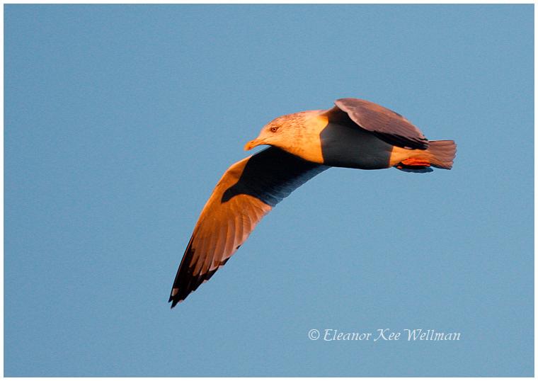Herring Gull, adult, non-breeding plumage, Sunset.