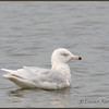 Glaucous Gull, 3rd winter plumage, <br /> Barrie, ON.