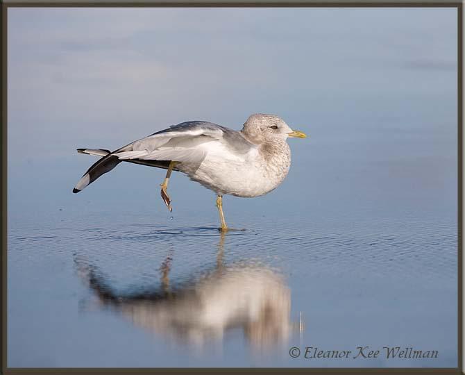 Mew Gull Reflected