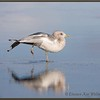 Mew Gull Reflected