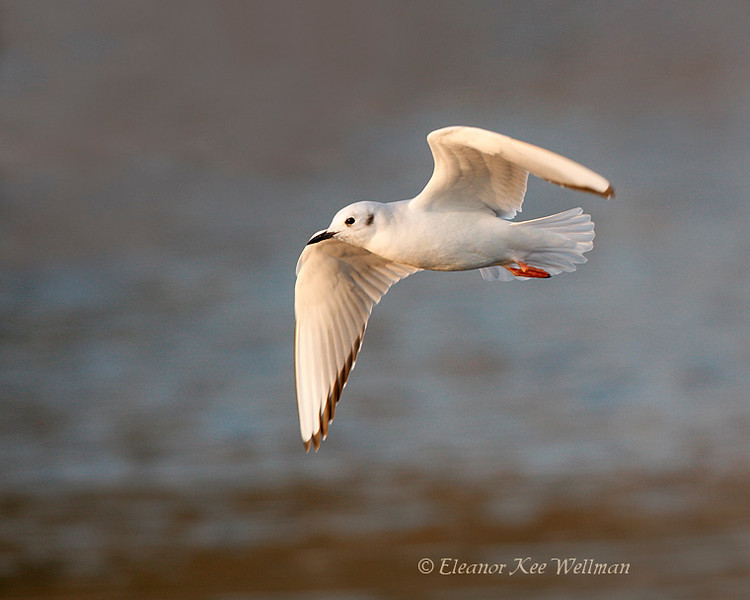 Boneparte's Gull, non-breeding plumage.