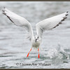 Boneparte's Gull with Fish<br /> Spring, Lake, Erie, ON
