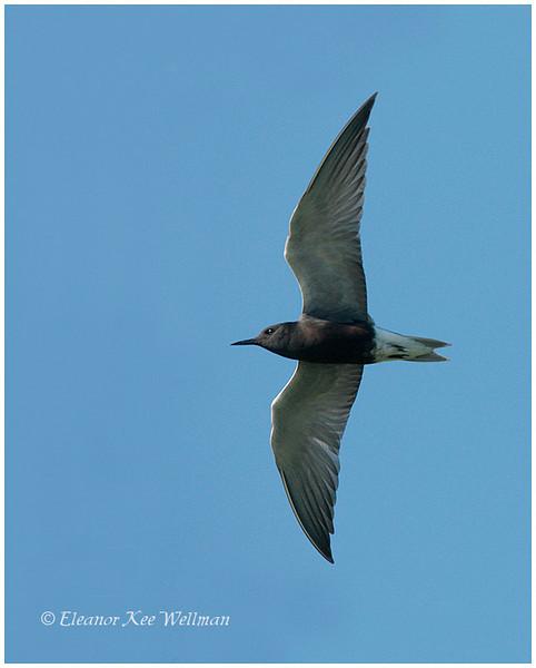 Black Tern, adult, breeding plumage.  Tiny Marsh, ON.