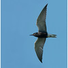 Black Tern, adult, breeding plumage.  Tiny Marsh, ON.