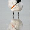 Royal Tern, adult, non-breeding plumage.