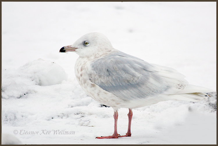 Glaucous Gull, 3rd winter plumage, Bracebridge, ON.