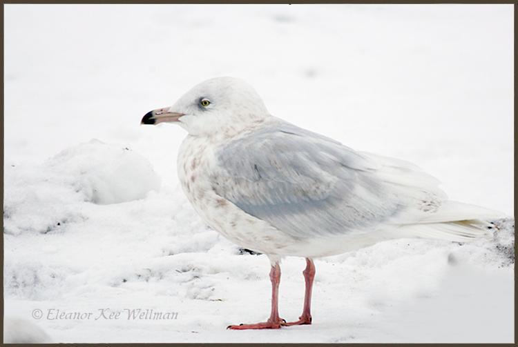 Glaucous Gull, 3rd winter plumage, Bracebridge, ON.