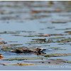 Black Tern, chick.  Tiny Marsh, ON.